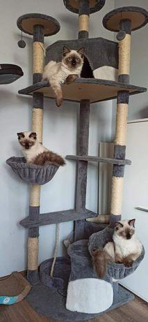 Koty syberyjskie neva masquerade