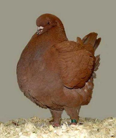 продам голубей кингов выставочных