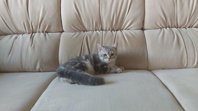 Шотландский прямоухий котёнок