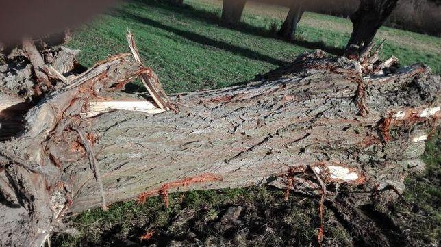 Wierzba, drewno, drzewo ZA DARMO 5 sztuk