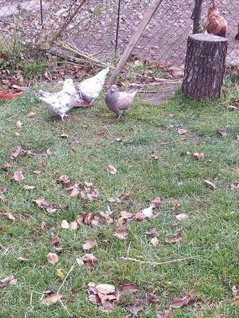 Gołębie Kingi...