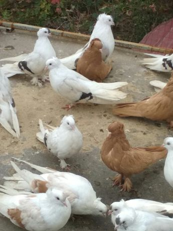 Продам голубей разных мастей