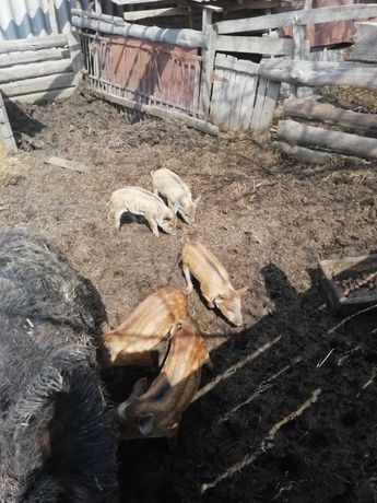 Поросята порода Мангал свиньи поросят