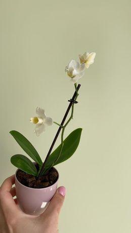 Орхідея міні