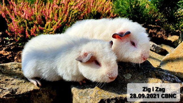 Świnka morska US Teddy dla koneserów dwaj bracia Zig&Zag kawia domowa