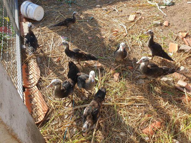 Patos mudos som 9