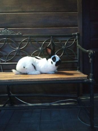 Продам кролика німецький строкач.