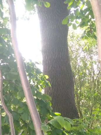 Деревину ясена...самовивіз