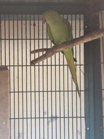 Ring neck femea verde