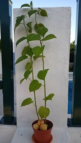 Planta de Physalis