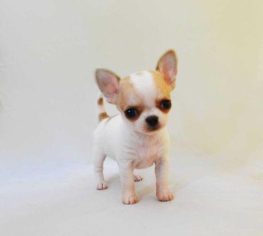 Chihuahua krótkowłose piesek i suczka FCI