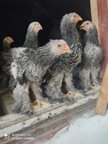 Продам підрощених курчат Брама темна, півників, дорослі кури
