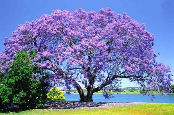Muda de Àrvore de Jacarandá (vários tamanhos)
