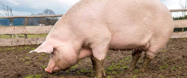 Продам беконых свиней живым весом.