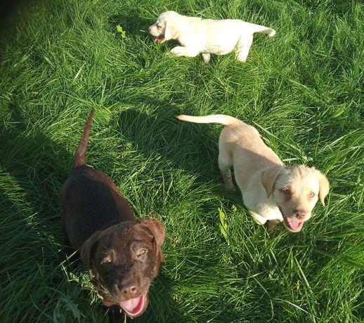 Labrador Retriever szczeniaki