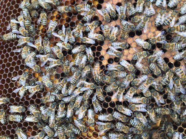 Скоро! Пчелиная матка. Карпатська бджола. Плодная.