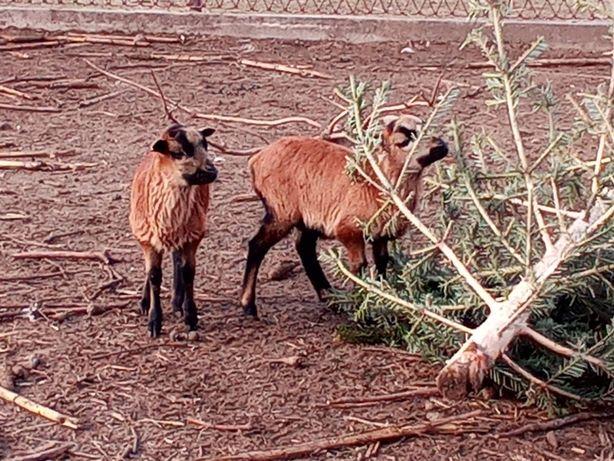 Owca kameruńska, baranki kameruńskie owce