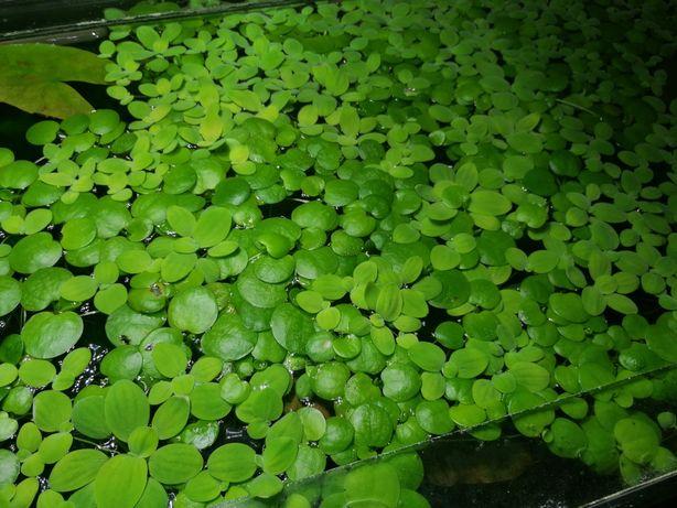 Rośliny pływające