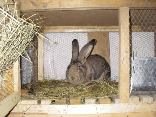 кролики  шиншили