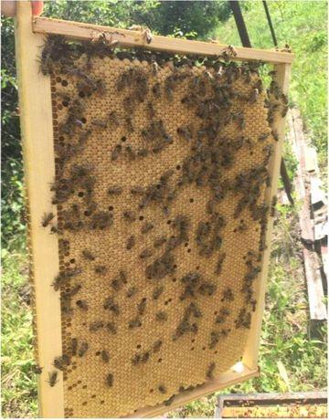 Реализую. Пчелиные Матки Buckfast (Бакфаст) Порода с именем!
