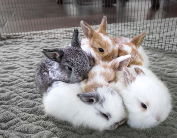 KIT coelhos anões mini holandês super fofos