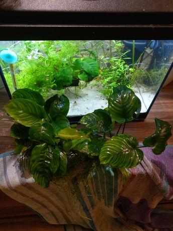 Anubias , Rośliny akwariowe
