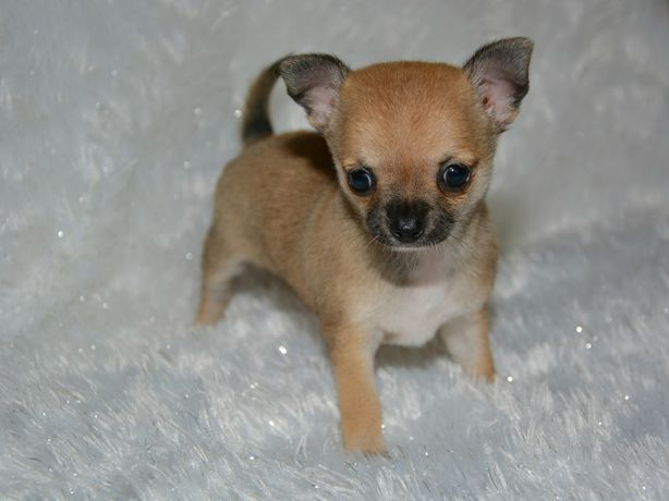 Chihuahua śliczna maleńka sunia