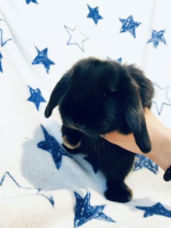 Królik króliczek króliczki Mini Lop