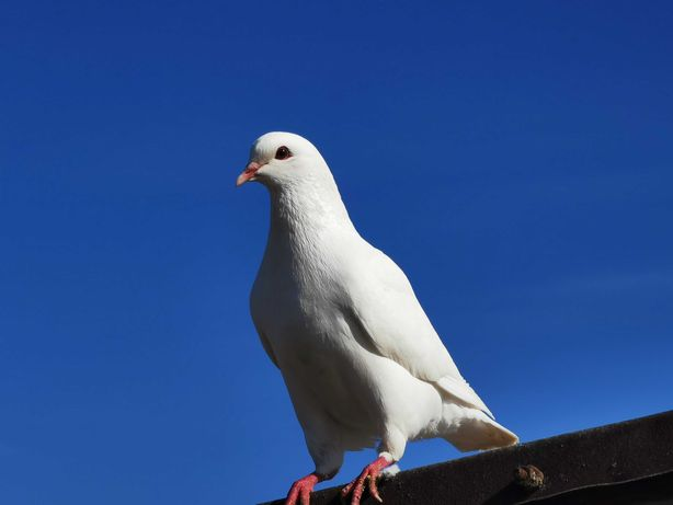 Gołębie ozdobne Kingi