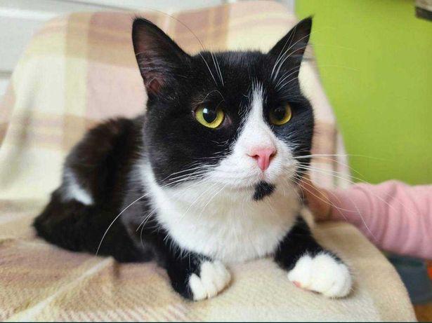 Очаровательный чёрно-белый котик Василёк ищет семью! Кот, котята,кошки