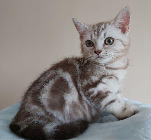 Kot/kotka brytyjska z rodowodem
