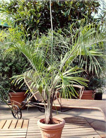 Marcante palmeira triangular Dypsis decaryi