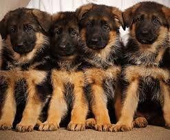 Продам щенков Німецької вівчарки