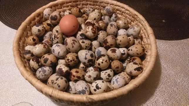 Jajka przepiórcze przepiórki świeże konsumpcyjne.