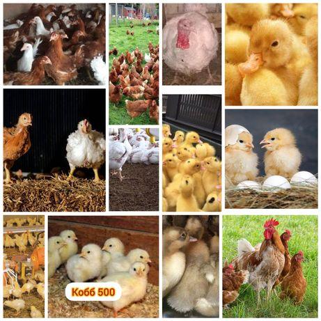 Цыплята, Бройлер, куры и... Доставка есть.