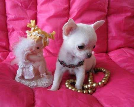 В продaжe щенки мaльчики чиxуахуа гладкoшеpстный и девочки.