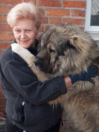 Продам щенков кавказской овчарки.