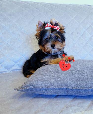 Śliczna dziewczynka Yorkshire Terrier 12 tyg. do odbioru