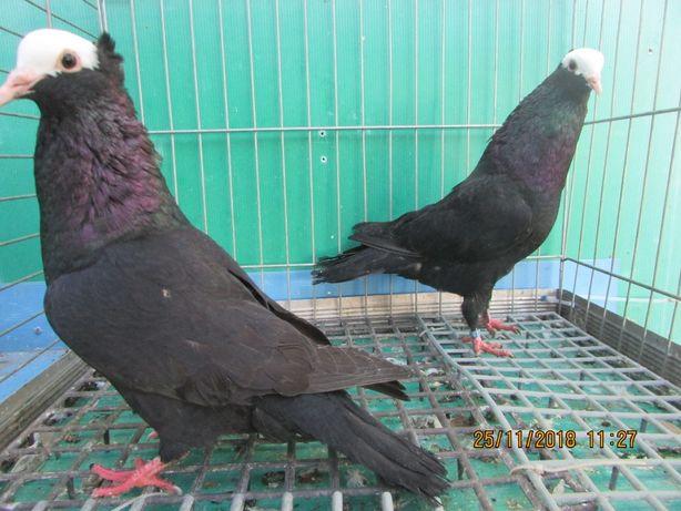 garłacz morawski czerwony,czarny, garłacze morawskie czerwone, gołębie