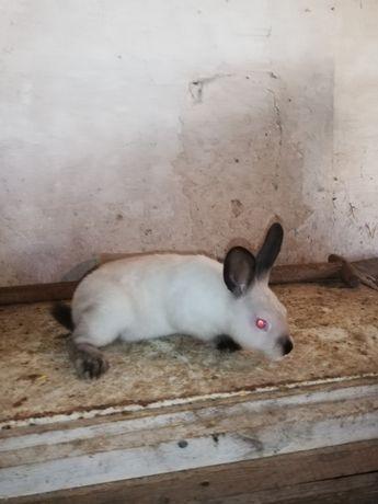 Sprzedam króliki kc