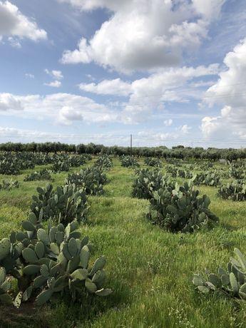 Palmas Opuntia Ficus Indica Mill