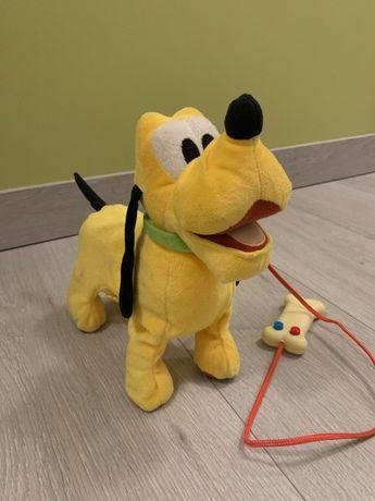 Pluto na smyczy idzie na spacer