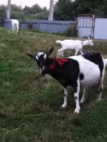 Продаються безрогі дійна чорно-біла коза і козочка зааненської породи