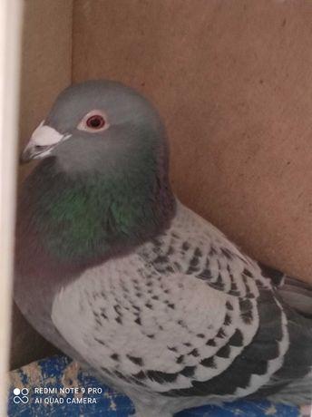 Sprzedam golebia pocztowego