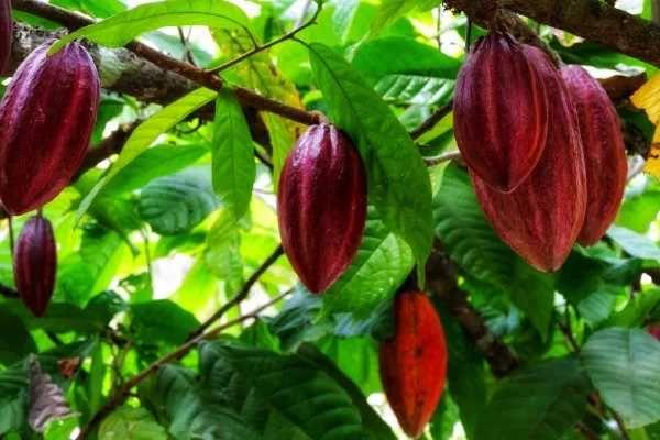 Sementes frescas de cacau 3 sementes