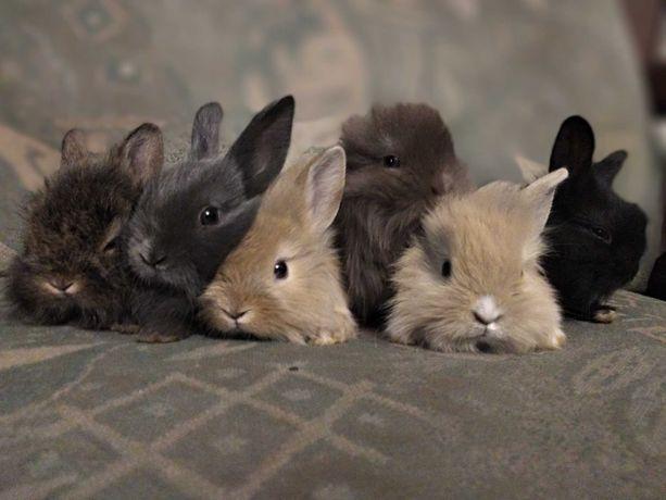 Śliczne króliki miniaturki  1,5-miesieczne