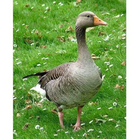 Продам гусей на розведення