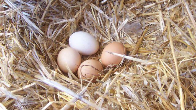 Sprzedam świeże wiejskie jajka z własnego gospodarstwa