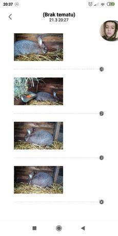 Sprzedam królika