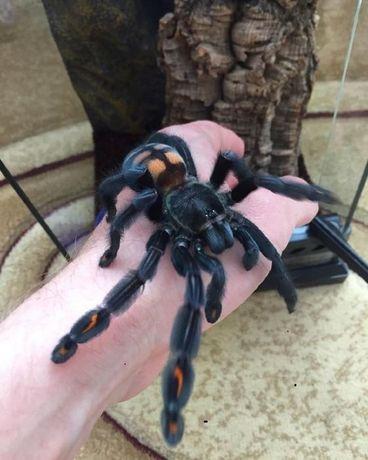 Psalmopoeus irminia шикарная самка паука птицееда с доставкой